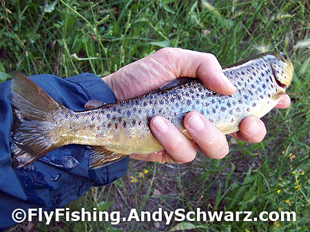 Good size brown trout on a dry fly Blue Winged Olive (BWO)