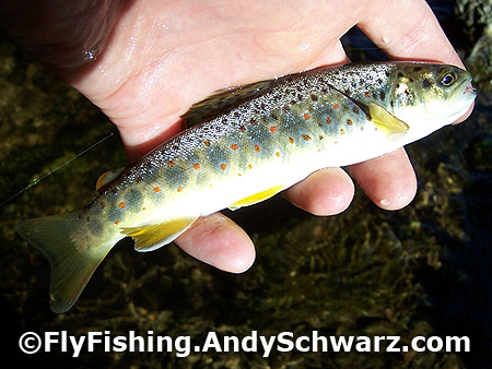 Nice little brown trout on a Blue Winged Olive.