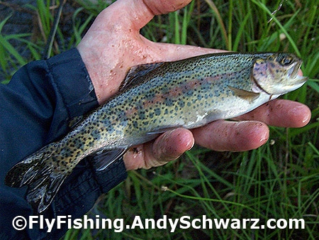 Beautiful wild rainbow trout on a Prince Nymph.