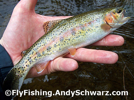 Golden colored rainbow trout on a prince nymph.