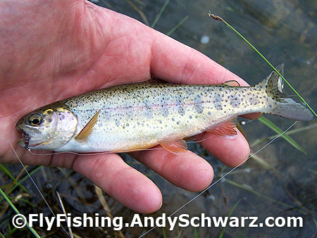 Juvenile rainbow trout on a prince nymph.