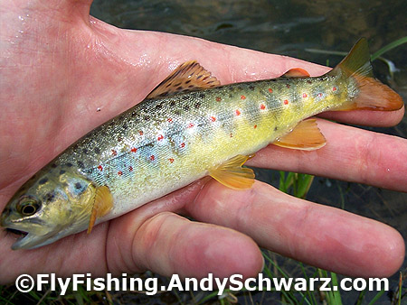 Juvenile brown trout