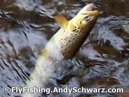 Brown trout on a dry Blue Wing Olive.