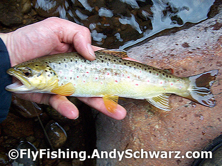 Nice size... 10 inches. Saw this guy the day before hanging in about 6 inches of water. He went right after the BWO.