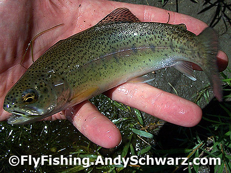 Rainbow Trout on a Blue Wing Olive.