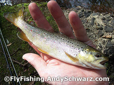 Brown trout on a prince nymph.