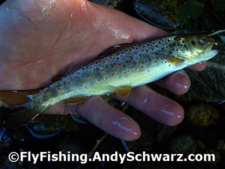 Little brook trout on bead head nymph.