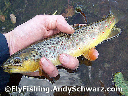 Nice big brown trout ... 11 inches on a blue wing olive.