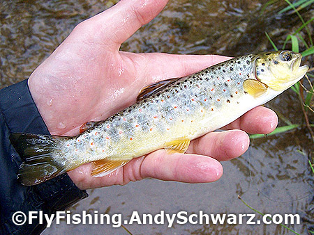 Brown trout on bead head nymph.