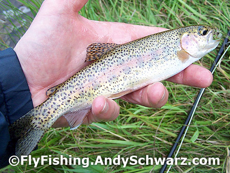 Rainbow trout on Blue Wing Olive.