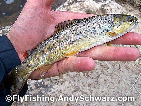 Brown trout on Blue Wing Olive.