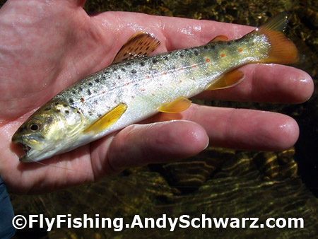Juvenile brown trout on a Prince Nymph.