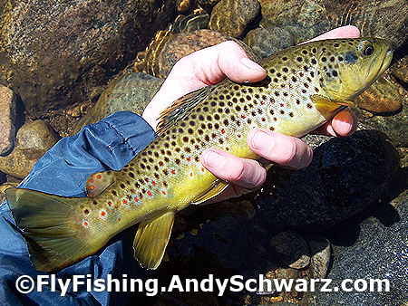 Beautiful 12 inch brown trout on a prince nymph.