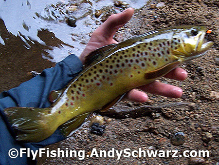 HUGE 14 inch brown trout on a prince nymph.