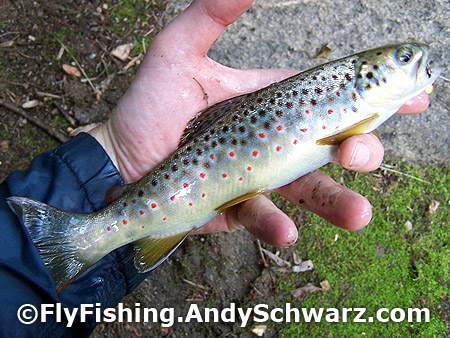 Brook trout on a prince nymph.