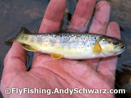 First brown trout of the 2012 season!