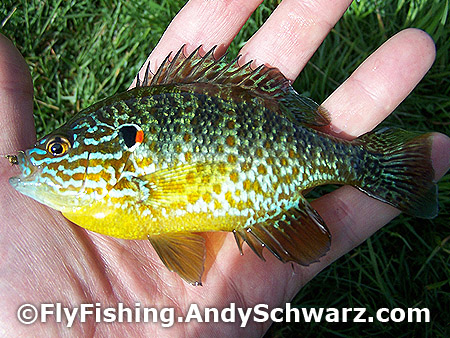 Two Pumpkinseed in a row. This one with brighter colors.