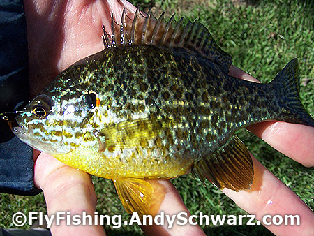 A nice Pumpkinseed Sunfish