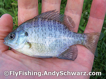 Cute little bluegill