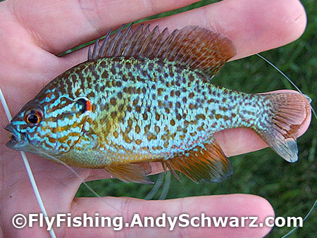 Another cute little pumpkinseed