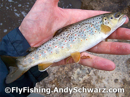 This juvenile brook trout launched out of the water to hit the fly.