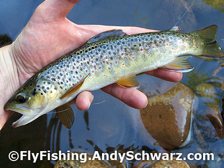 Brook trout on a blue wing olive.