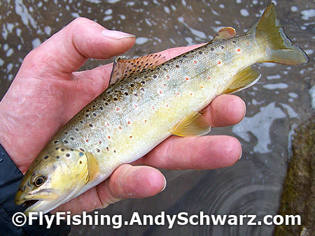Nice brown trout.